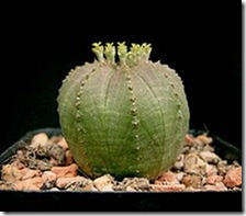 female flower -Euphorbia_obesa