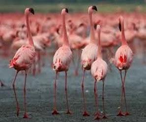 Amazing Pictures of Animals, Photo, Nature, Incredibel, Funny, Zoo, Flamingos or Flamingoes, Phoenicopteridae,  Aves, Bird, Alex (5)