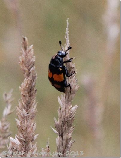 28-nicrophorus-vespilloides