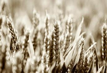 oats-field
