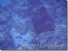 Spotted Eagle Ray, Southwater Cay