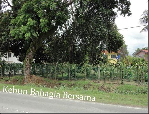 Dragonfruit Tuaran