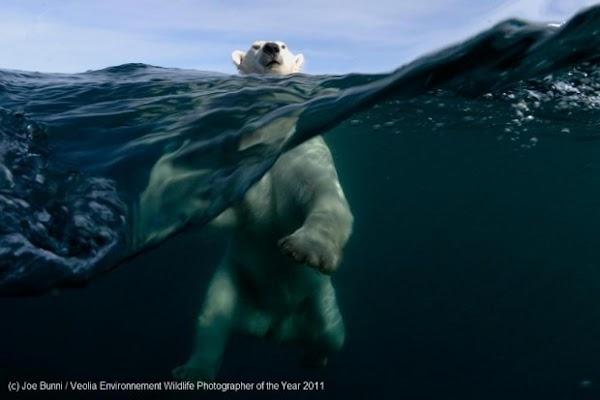 fotos animais urso nadando[3].jpg