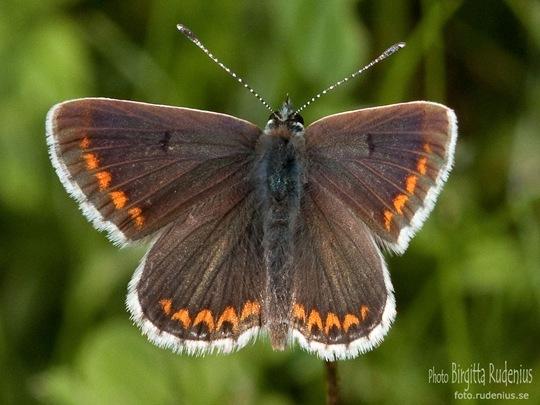 butterfly_20110731_brun