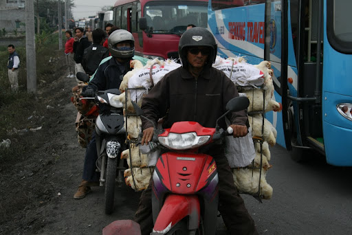 You can carry anything on a scooter, even a replacement chicken farm.