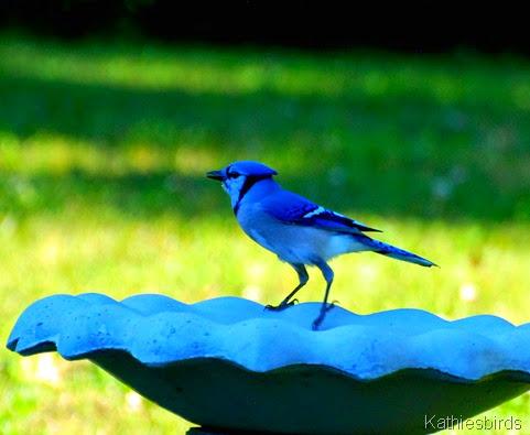 7. blue jay-kab