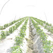 Warraichagrifarms.com-Tunel-Farming52.JPG