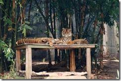 Tiger family, Taronga Zoo