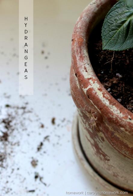 Hydrangeas  via homeework | carolynshomework.com