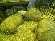 2015.02.26-028 mouton Berrichon du Cher