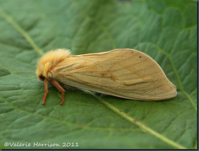 ghost-moth-female-side