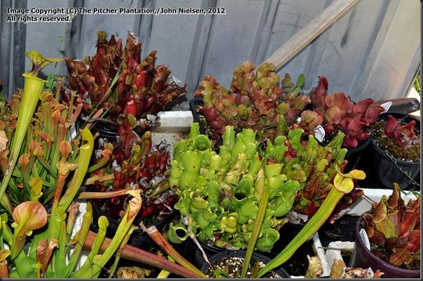 purpurea ssp purpurea veinless