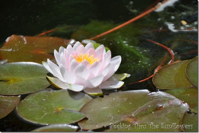 water lily 2013 close-up 002