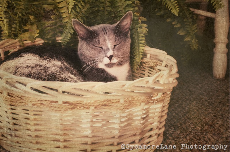 Sleepy Kitty-w-SycamoreLane photography