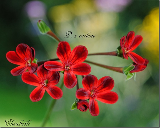 Pelargonium aug-11 006