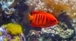 Biodiversité poisson-ange flamboyant