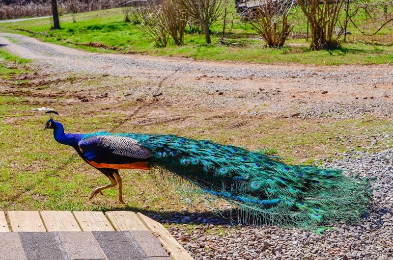 peacock-19481