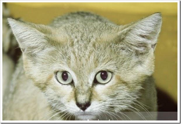gato de arena cosasdivertidas info (8)