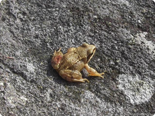 rhinog frog (dim hoppio)