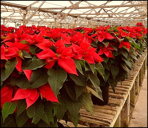 poinsettia farm2011 020 (600x800)