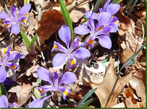Crested Dwarf Iris