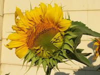 Sunflower and yellow wall
