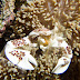 Spotted Porcelain Crab - Photo (c) 104623964081378888743, some rights reserved (CC BY-NC-SA)