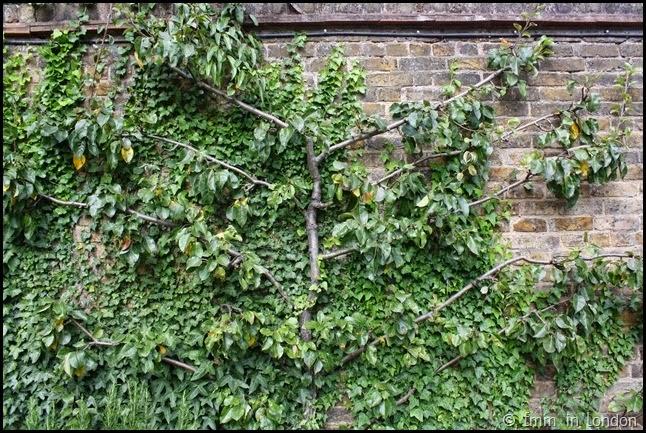 Geffrye Museum - pear tree