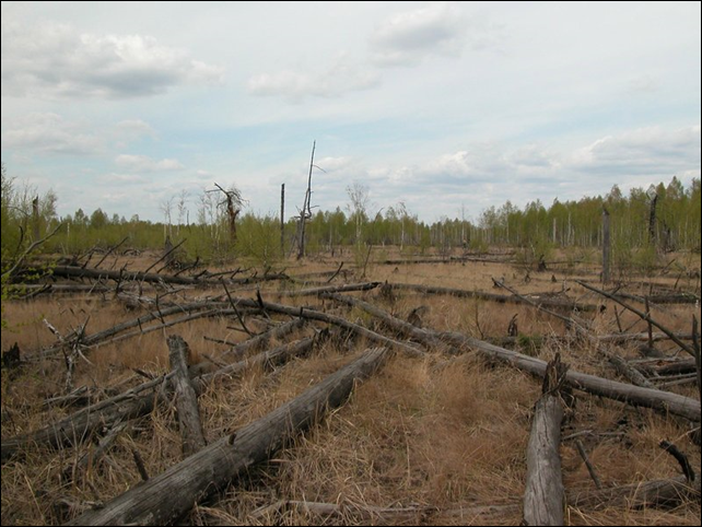 Fallen trees in Chernobyl's infamous red forest. 'Apart from a few ants, the dead tree trunks were largely unscathed when we first encountered them,' says Timothy Mousseau, a biologist at the University of South Carolina, Columbia. 'It was striking, given that in the forests where I live, a fallen tree is mostly sawdust after a decade of lying on the ground.' Photo: T.A.Mousseau and A.P. Møller