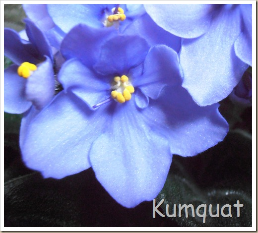 violeta africana 3