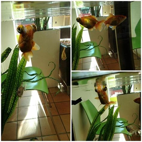 pageguldfisk