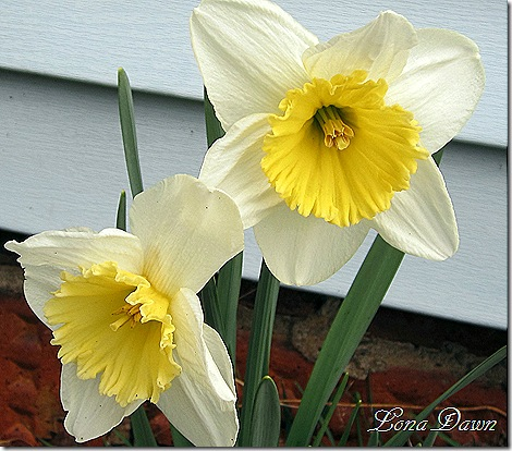Daffodil2_March13