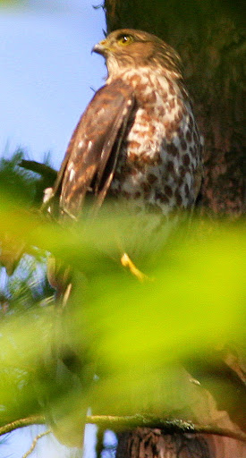 7-11-09, Picazo Farm woods, juvenile Sharp-shinned Hawk, 9:36 a.m.