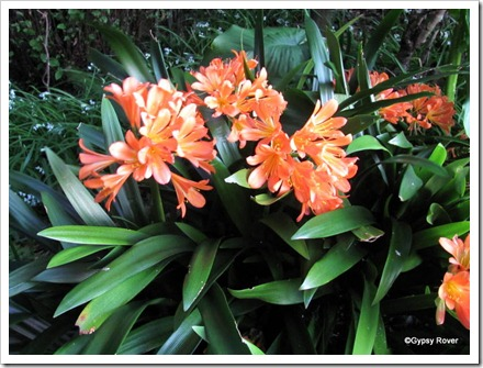 Beautiful Clivia in full bloom along the walkway