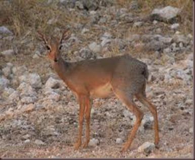 Amazing Pictures of Animals photo Nature, exotic, funny, incredibel Zoo, Dik-dik, antelope. Alex (1)