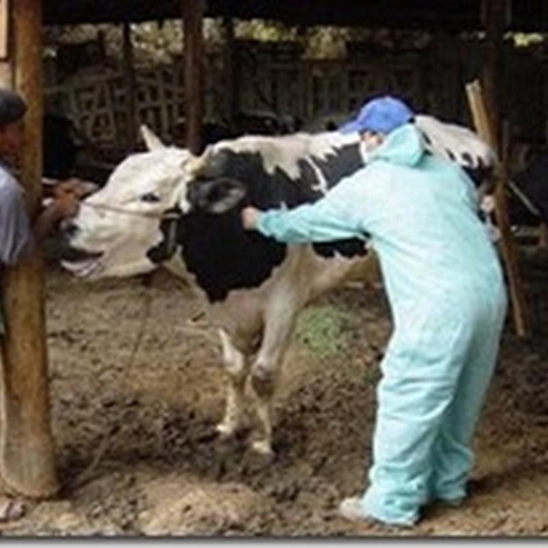 هل تنتقل الحمى القلاعية من الحيوان الى الانسان؟