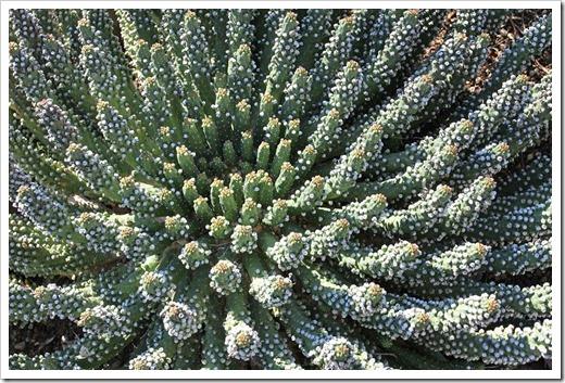 120414_RBG_Euphorbia-inermis-var-huttonae_03