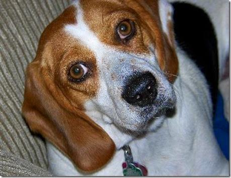 BeagleMaxineSPCARescue