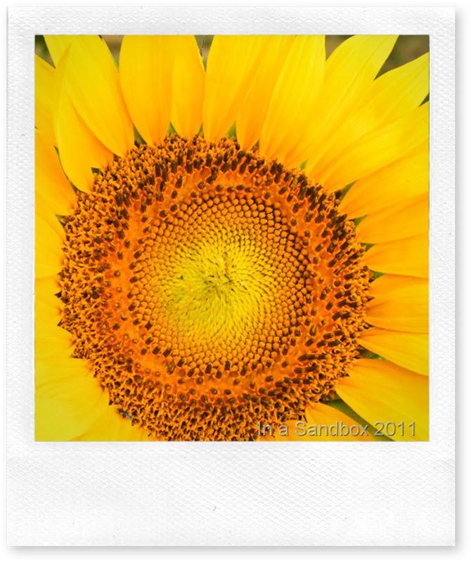 sunflower-macroLR
