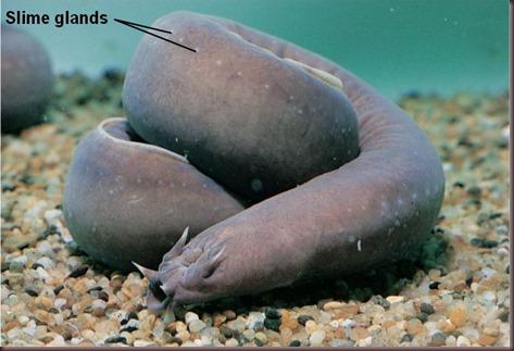 Amazing Animal Pictures Hagfish (5)