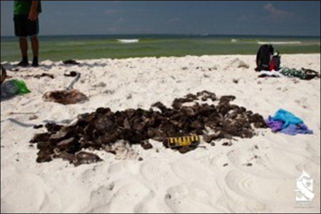 On the 20 June 2014, Pensacola was the recipient of yet another 'present' from the oil-filled Gulf of Mexico - a 1000-pound tar mat washed up in Ft. Pickens Park. Tar balls wash up almost every day along the coast between Pensacola Beach and Ft. Pickens, but sometimes a large mat is uncovered by waves. Photo: Sea Shepherd