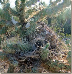 Cactus wren nest 8-29-2011 7-54-56 AM 1884x1934 8-29-2011 7-54-56 AM 1884x1934