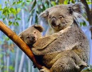 Amazing Pictures of Animals, Photo, Nature, Incredibel, Funny, Zoo, Koala, Phascolarctos cinereus, Alex (3)