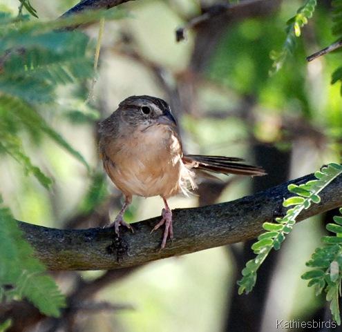13. botteri's sparrow-kab