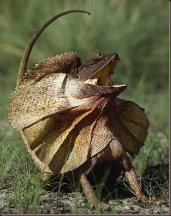 Amazing Animal Pictures Frill Necked Lizard (10)