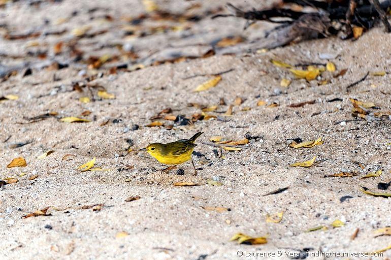 Schnäpperrohrsänger, Galapagos