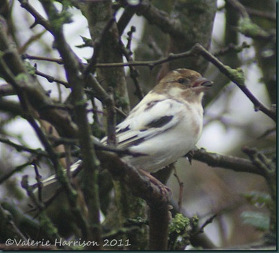 28-leucistic-chaffinch