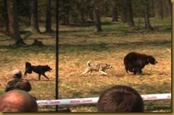 rinha-ursos1