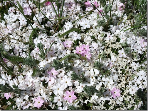 02 Phlox patch by FR22 Kaibab NF AZ (1024x768)