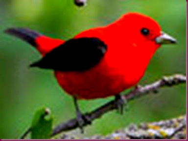 red-tanager_12759_100x75